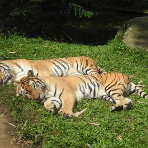 タマンサファリの見どころとおすすめの動物を紹介|ジャカルタ発の週末観光