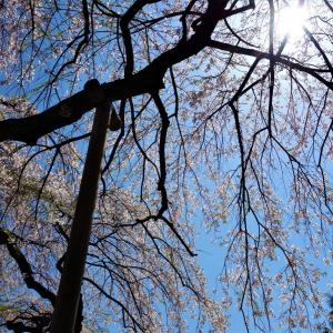 Vストで桜探し・・・のハズが