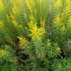 秋の黄色い花々