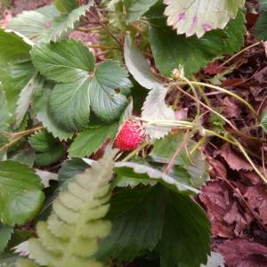 時季外れの苺と蛙
