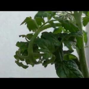ミニトマトの枝が1本だけカールしたまま戻らなくなった