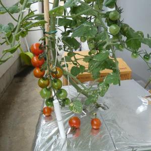 ミニトマトを収穫
