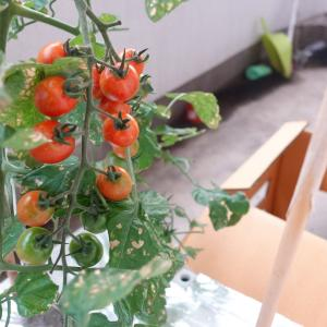 ミニトマトを刈った