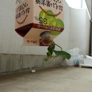 大豆(枝豆)を逆さ栽培