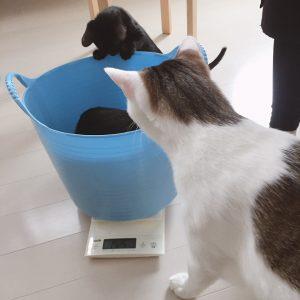 モンプチと体重測定  子ネコ保護79日目(2018.8/25)