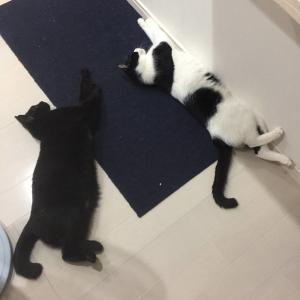 「ゴロゴロしてる猫」と「コロっとしてる猫」