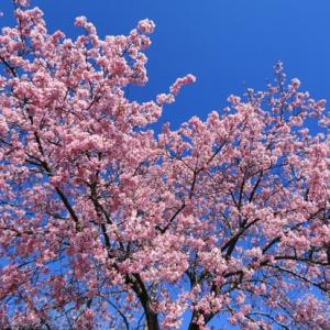 桜とココとメジロさん