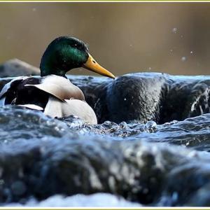 天白川の野鳥 part-19
