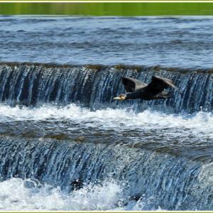 天白川の野鳥 part-8