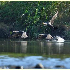天白川の野鳥 part-10