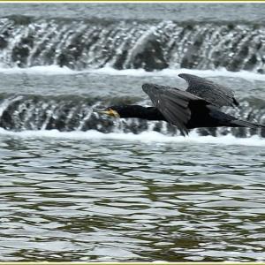 天白川の野鳥 part-11