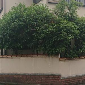 大量の庭の木を伐採!