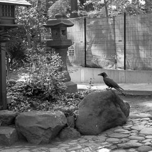 神社カラス(割と近め)