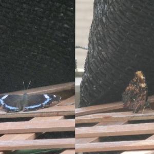 これは蝶?蛾?
