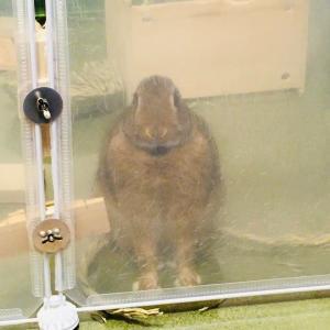 ウサギのちまき今日の1枚『カツラをはずしたちまき』