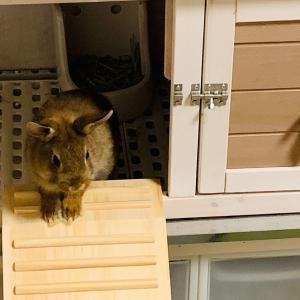ウサギの換毛期?バカボンの本官さん似のちまきどん