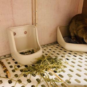 ウサギの牧草を変更!ちまきがチモシーをあまり食べなくなった