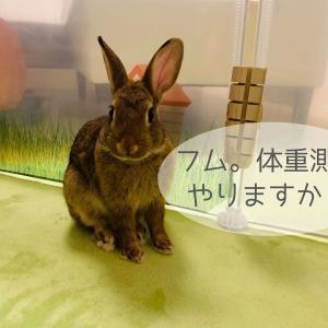 生後3カ月のウサギの体重測定♪(ちまき6月の体重変化)