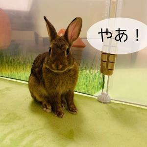 ウサギの遊び道具♪ジャバラトンネル