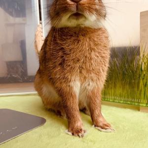 ウサギのちまきがサークルを脱走!サークルへの開放で失敗したこと