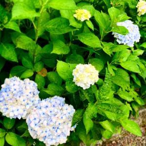 庭の花と、新ドラマ♡シェフは名探偵①~③話の感想
