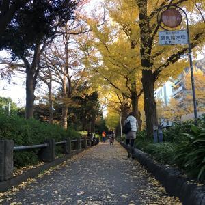 黄金色に輝く銀杏並木@山下公園と横浜公園