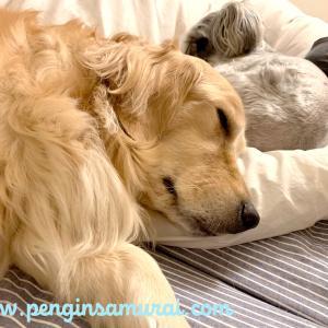犬2頭と一緒に寝る