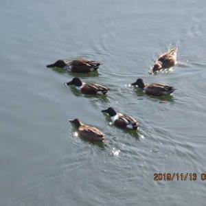堀の鴨たち