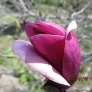 紫木蓮(シモクレン)