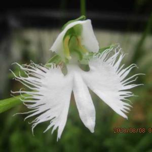 鷺草(サギソウ)開花