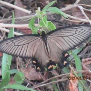 蝶の里帰り