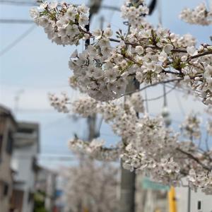 春爛漫 山田音楽院の行き帰り