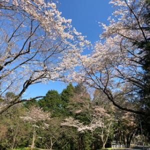 4月の定休日とつま恋の桜