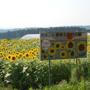 藤井ひまわり畑へ行く