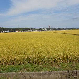 庄内平野は黄金色
