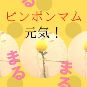 【ピンポンマム、花言葉は「君を愛す」】トイレに飾ったところ・・元気をもらいました。