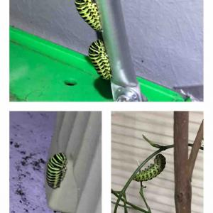 黄アゲハ観察日記 《幼虫〜前蛹》