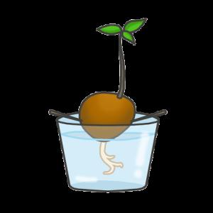 アボカドの水耕栽培のイラスト