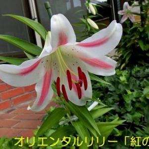 庭のユリが咲きました!&梅雨夕焼け