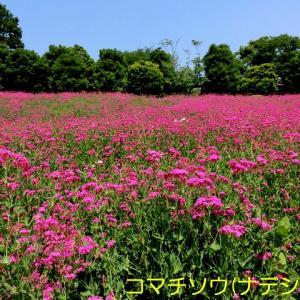 昭和記念公園に行きました その2 (日本庭園とスカシユリ)