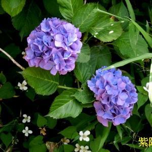 近所の散歩のお花の写真(紫陽花など)