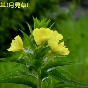 正福寺と北山公園-その2-(ハス、待宵草(月見草)など)