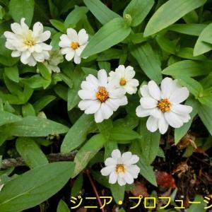 東村山中央公園散策 その2 秋の花と蝶々