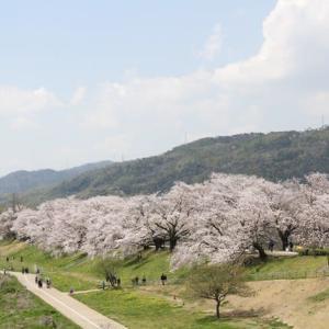 京都背割り提の桜
