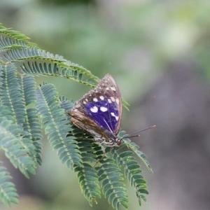 国蝶「オオムラサキ」