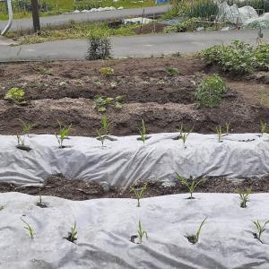 植えた野菜苗が無くなった...(原因はヨトウムシでした)
