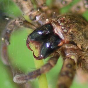 巨大な牙のコアシダカグモ 足長はザトウムシ