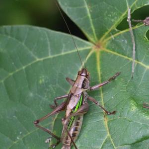 ニシキリギリス ツマグロバッタ