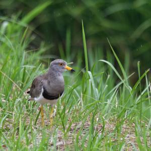 田園の野鳥② ケリ バン