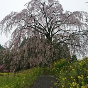 しだれ桜巡りの1日